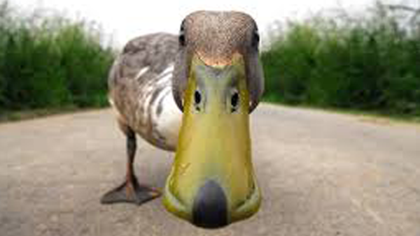 silly-duck